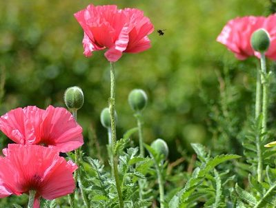 Photo of bee approaching poppy