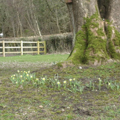 Photo of daffodils in park